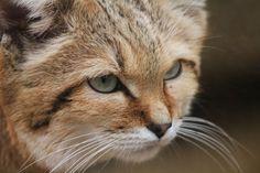 Sand Cat at Exmoor Zoo, Devon  by rhiannonphillips