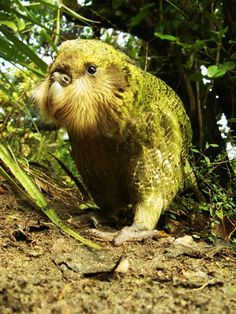 The Kakapo, also called owl parrot, is a species of large, flightless, nocturnal, ground-dwelling parrot of the super-family Strigopoidea endemic to New Zealand. It has finely blotched yellow-green plumage, a distinct facial disc of sensory, vibrissa-like feathers, a large grey beak, short legs, large feet, and wings and a tail of relatively short length.