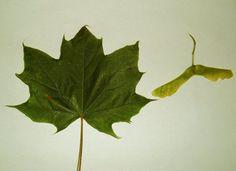 Spisslønn, Norway Maple, Acer platanoides. Blad og frø.