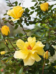 'Golden Showers' climbing rose: Rosa 'Golden Showers' is always in bloom. The ruffled, semidouble flowers impart their sunshine throughout the season, perfuming the air with a light fragrance. Plants grow 10 feet tall and 5 feet wide. Zones 8-10