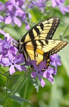 Tiger Swallowtail.....Virginia's state insect