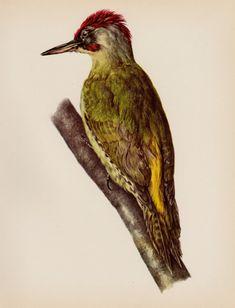 Woodpecker Bird Print Country Home Decor Bird by plaindealing