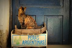 Argentine Pears Hungarian Cat