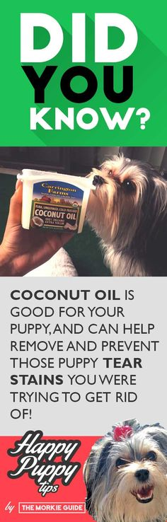 Did You Know You Can Use Coconut Oil To Remove Your Puppy's Tear Stains? | Another Happy Puppy Tip | by The Morkie Guide