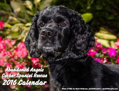 2016 CALENDARS NOW ON SALE: http://abandonedangels.bigcartel.com/ The 2016 Abandoned Angels Cocker Spaniel Rescue wall calendar features a stunning cover (of Billy) photographed by the talented Mark McQueen of phoDOGraphy and interior pages beautifully designed by the graphic artist wizards at Impeckable Creations. Each month features an adorable Cocker Spaniel (or honorary Cocker) & includes pet-related holidays for you to enjoy all year long. All proceeds will go towards paying for vet…