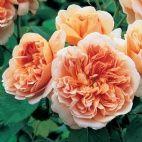 Buy roses - fragrant - David Austin Roses - EU
