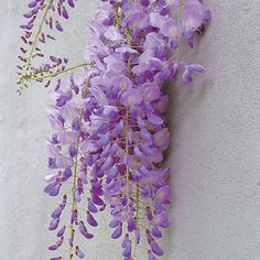 Chinese wisteria. Latin name: Wisteria sinensis. Zones 5-8. Learn more here http://www.finegardening.com/plantguide/wisteria-sinensis-chinese-wisteria.aspx