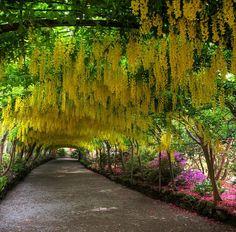 Laburnum Arch, Bodnant gardens, Wales ~ by Gail Johnson, via Flickr