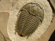 Modocia typicalis Utah Trilobite