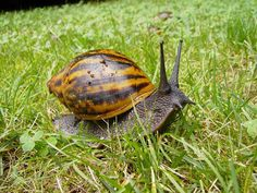 How To Start A Lucrative Snail Farming Business (Comprehensive Business Plan) African Snail, Giant African Land Snails, Snail Farming, Natural Ecosystem, Sea Snail, African Countries, Types Of Soil, Ivory Coast, East Africa