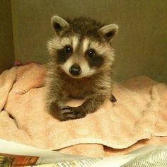 Post with 695 views. He looks like he's trying to tell you he's a good baby raccoon. Baby Raccoon, Racoon, Cute Little Animals, Cute Funny Animals, Freundlich, Cute Animal Pictures, Animal Memes, Animals Beautiful, Pet Birds