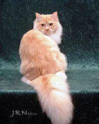 ragamuffin kittens Ragamuffin Kittens, Cats, Gatos, Cat, Kitty, Kitty Cats