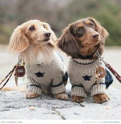 Adorable Dachshunds Crazy Wacky Photo Two