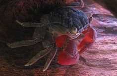 crabe-pinces-rouges