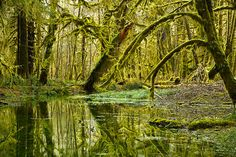 Quinault Rain Forest, Olympic National Park nature photography