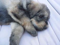 puppy! bouvier des flandres! http://www.beachbearbouviers.shutterfly.com