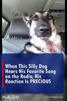 This dog hears his favorite song play on the radio How he responds You've got to see this! dogs funnyanimals cute dog pets animals funny video puppy puppies is part of Silly dogs - Top 10 Funny Videos, Funny Animal Videos, Funny Animal Pictures, Cute Funny Animals, Pet Videos, Top Funny, Silly Dogs, Funny Cats And Dogs, Funny Kitties