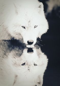 White Wolf by JocelynDiamond.deviantart.com on @deviantART White Wolf, Wolf Images, Wolf Pictures, Animal Pictures, All White Husky, Amazing Things, Beautiful Things, Beautiful Wolves, Animals Beautiful