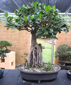 Large Website located in the UK, offers Bonsai Art, Species guides for Bonsai trees, Bonsai galleries and Bonsai Techniques. Bonsai Ficus, Jade Bonsai, Bonsai Art, Bonsai Garden, Succulent Pots, Succulents, Bonsai Tree Types, Bonsai Styles, Jade Plants