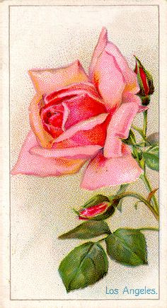antique print los angeles rose