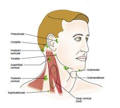 Is it normal to feel lymph nodes in the neck quora nursing neck glands diagram google search ccuart Choice Image