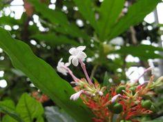Rauvolfia serpentina (Java-Teufelspfeffer)