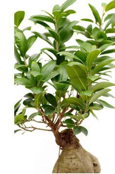 Ficus retusa sollte in gute Bonsaierde gepflanzt werden