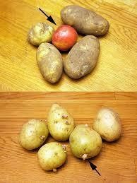 To keep potatoes from budding, place an apple in the bag with the potatoes.  Got to try that!