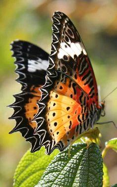 ^Butterfly.