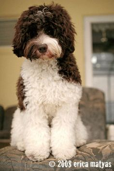 Image detail for -areas labradoodle coat types the three coat texture types are Labradoodle Breeders, Australian Labradoodle, Goldendoodles, Labradoodles, Miniature Labradoodle, Cavapoo, Cute Puppies, Dogs And Puppies, Lagotto Romagnolo