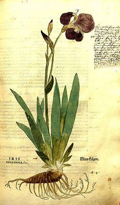 "Iris from 1542 book ""De historia stirpium commentarii insignes"", Albrecht Meyer"