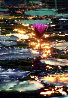 "sundiamonds: ""by itoodMuk Found on "" - Lotus Garden, Water Garden, Exotic Flowers, Beautiful Flowers, Lotus Art, Jolie Photo, Parcs, Water Plants, Color Of Life"