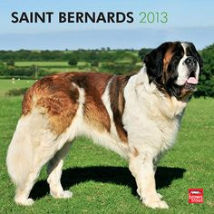 Saint Bernards Wall Calendar: The Saint Bernard is a tough working dog who was originally put to work as a rescue dog in the High Swiss Alps. The spirits carried around its neck provided the rescued with warmth to combat the cold temperatures. This big dog is also known for its loyalty, love, and gentleness.  $14.99  http://calendars.com/Saint-Bernards/Saint-Bernards-2013-Wall-Calendar/prod201300004893/?categoryId=cat10164=cat10164#