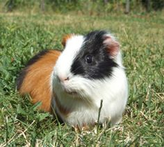 Guinea pigs have a life span of 4-5 years, but they can live as long as 8 years of more.