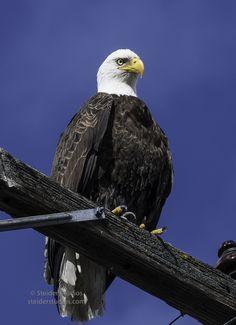 Bald Eagle on Upper Klamath Lake during Winter Wings Festival. Photo by Steider Studios.
