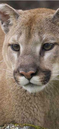 Mountain Lion in Western Montana and Glacier National Park | glaciermt.com