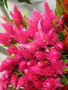 Bright Vibrant Pink Flowers #celosia  http://www.mainwholesaleflorist.com/