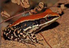 The fungoid frog or Malabar Hills frog is a colourful frog found on the forest floor and lower vegetation in the Western Ghats in south-western India, possibly wider. Although restricted in range, they are of least conservation concern. Wikipedia Scientific name: Hylarana malabarica