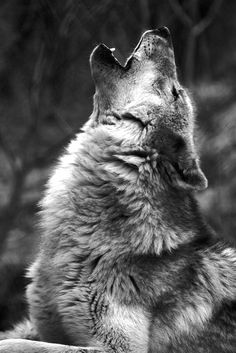 Wolves Howling | howling wolf