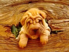 Orange and wrinkly pup