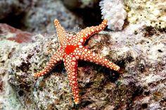 Águas de Pontal: Estrelas do mar estão se desintegrando nos oceanos...