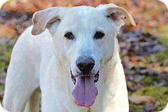 03/05/16 SL~~~Pictures of ARCHIE a Shepherd (Unknown Type)/Labrador Retriever Mix for adoption in Sussex, NJ who needs a loving home.