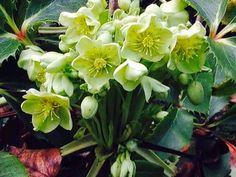 Lieschens-Bilder: Blume Christrose