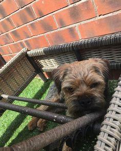 Shading from the sun #GeorgeDavis #borderterrier #mummiesboy #sunbathing #dogsofinstgram #dogs #terrier #George