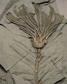 Crinoid Fossil | #Geology #GeologyPage #Fossil  Geology Page www.geologypage.com