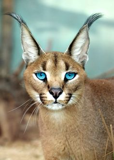 Little Caracal - Stubentiger - Cats Caracal Kittens, Serval Cats, Cats And Kittens, Most Beautiful Animals, Beautiful Cats, Big Cat Species, Animals And Pets, Cute Animals, Big Cats Art