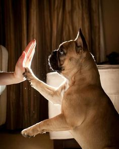 Franse bulldog Hi five