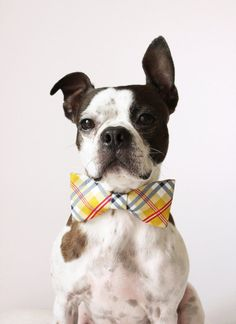 Yellow Plaid Dog Bow-tie - Handmade Dog Collar Accessories - Regular and Large Sizes. $12.25, via Etsy.