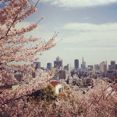 Kōbe, Japan, during spring time. The Sakura flowers are amazing.