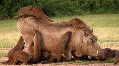 Symbiosis - Mongoose spa for warthogs.